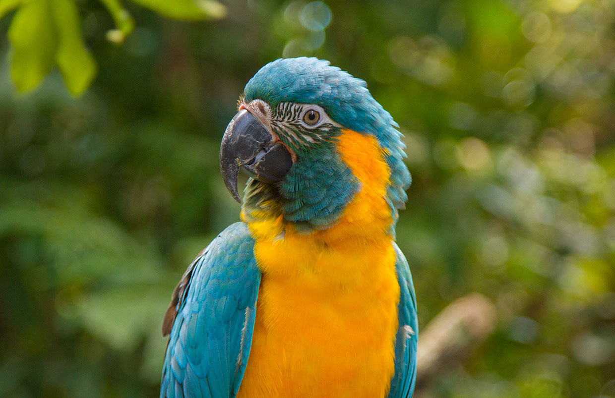 closeup of blue-throated macaw