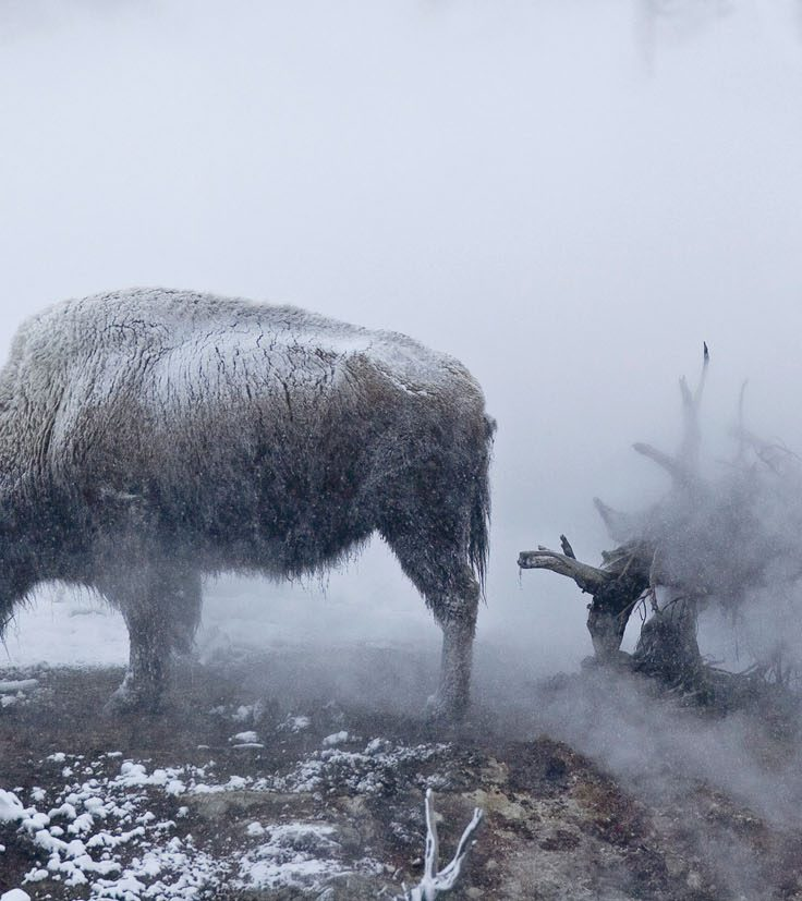two bison stand in steamy, snowy landscape