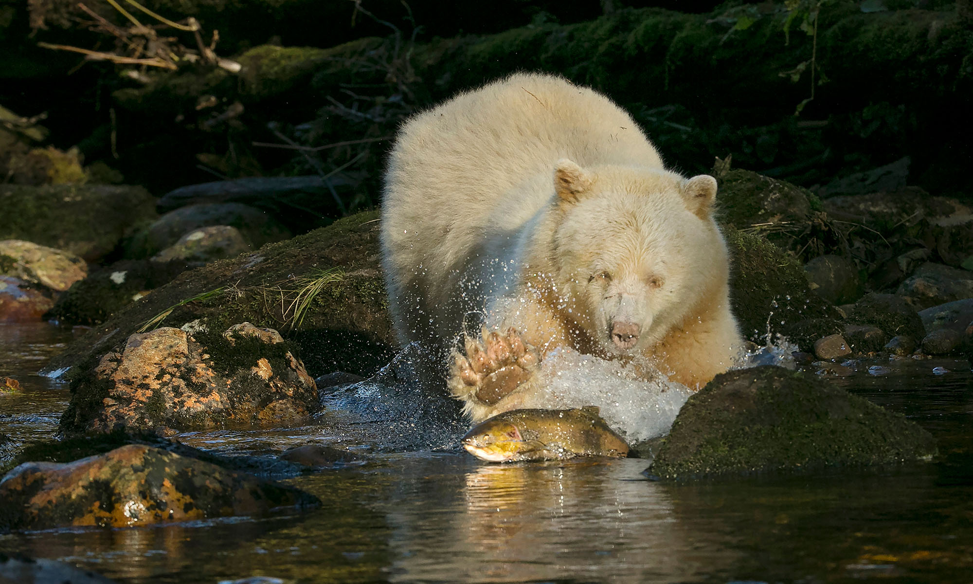white bear pawing at fish in stream