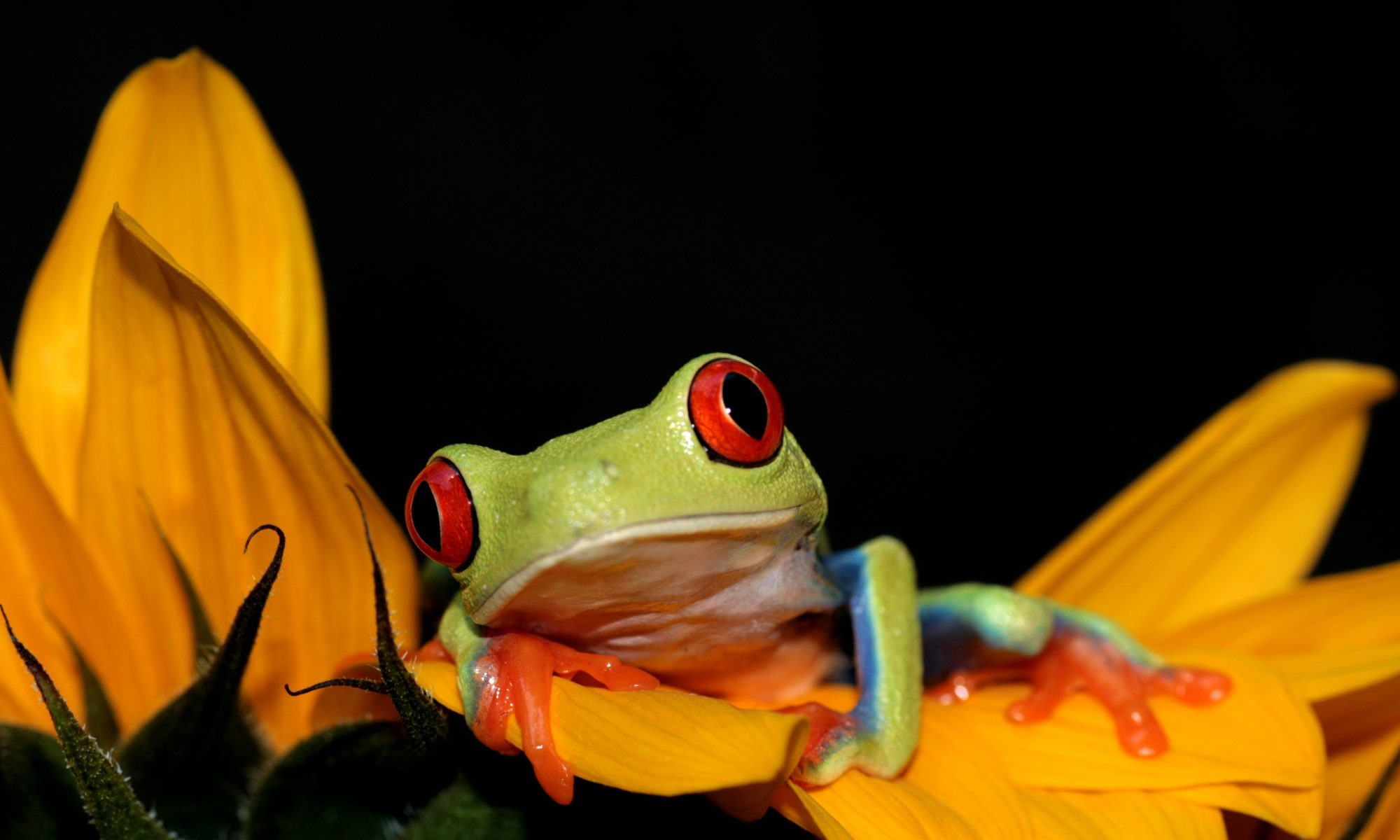 red eyed frog sitting on flower