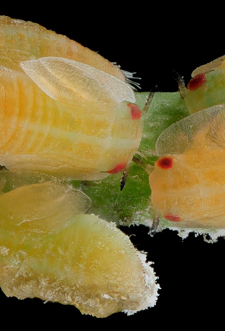 The Asian citrus psyllid insect transmits the bacterium which causes citrus greening, a disease that has devastated Florida's citrus industry.