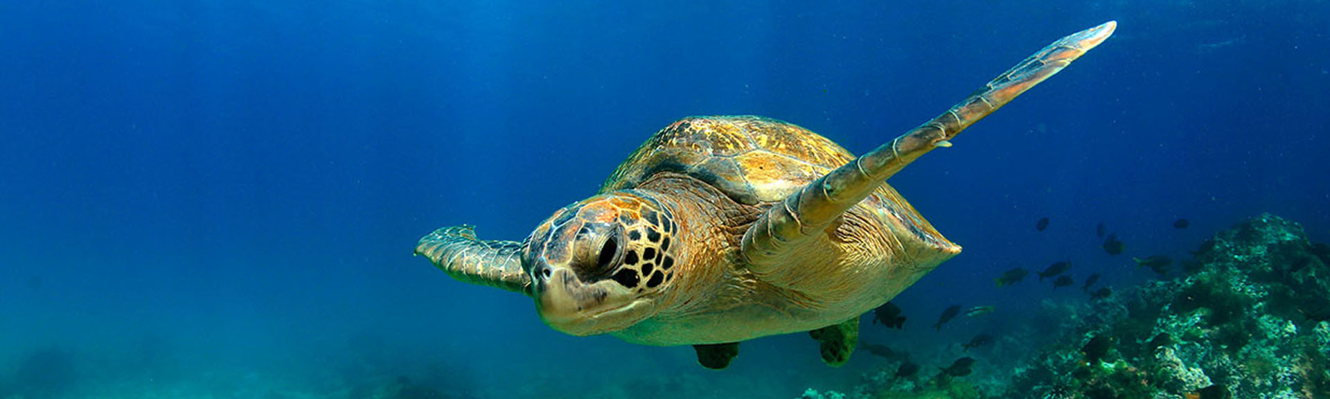 Green sea turtle swimming underwater in lagoon