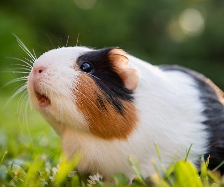 Uncovering the Origin of the Domesticated Guinea Pig – News